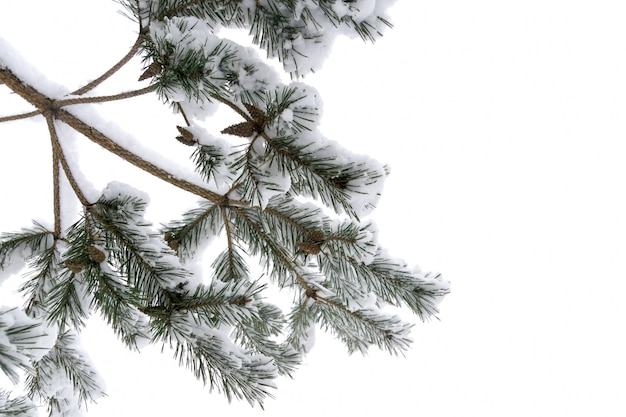 Evergreen tree branches in winter close up Premium Photo
