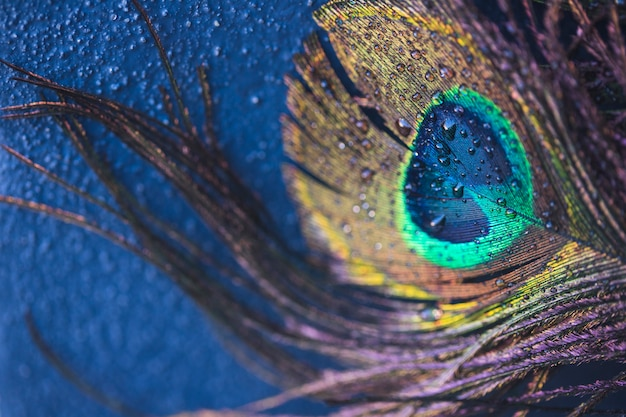 Exotic peacock feather with water droplets on blue textured background Free Photo