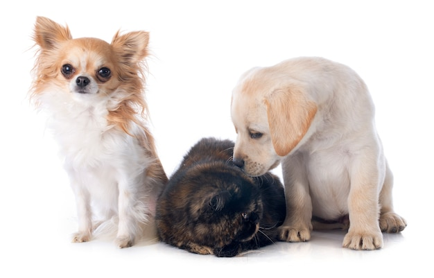 Exotic shorthair cat and dogs Premium Photo