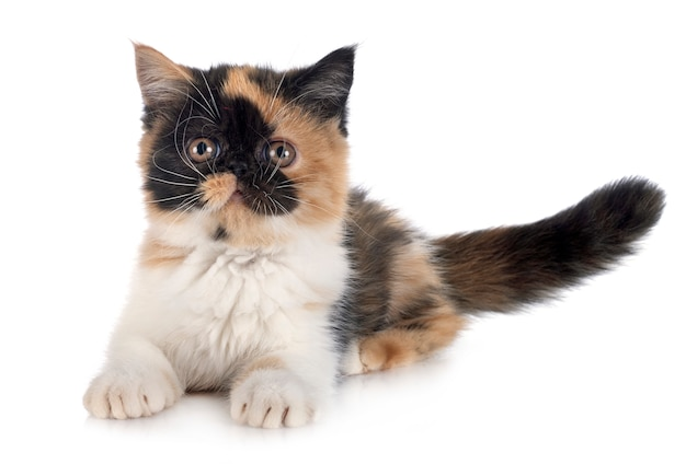 Exotic shorthair dog Premium Photo
