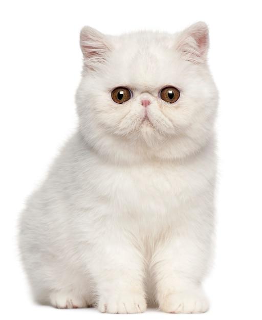 エキゾチックショートヘアの子猫(4ヶ月)、エキゾチックショートヘアの子猫 Premium写真