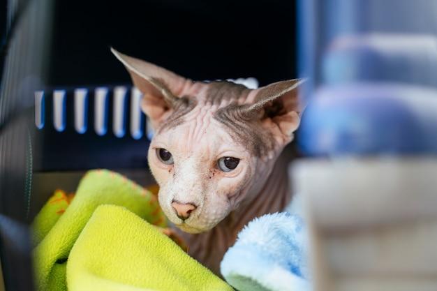 獣医クリニックでのエキゾチックなスフィンクス猫。不健康な顔のクローズアップと詳細。 Premium写真