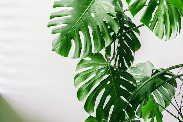 Premium Photo Exotic Tropical Monstera Palm Leaves At Home Set of modern vibrant exotic monstera leaves. https www freepik com profile preagreement getstarted 5541749