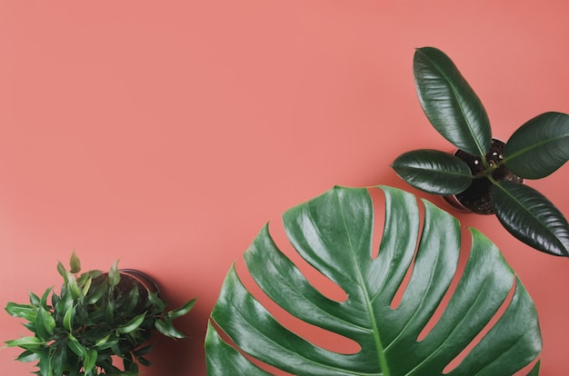 Exotic tropical plant frame with monstera and ficus on red background Premium Photo