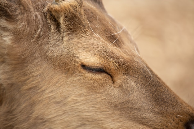 Extremely closeup of a deer with a  slightly closed eye Free Photo
