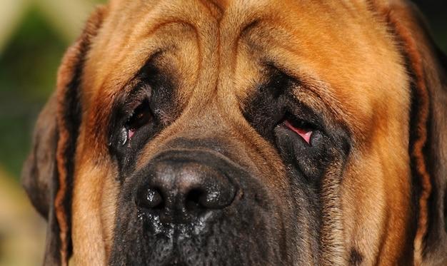 Eyes of a mastiff dog Photo   Premium Download