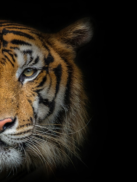 The face of a male tiger on black. Premium Photo