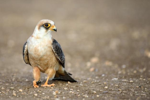 獲物と鷹 Premium写真