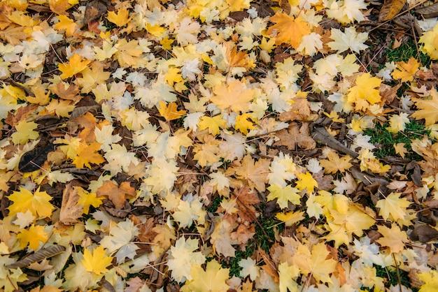 緑の芝生に落ちたカエデの葉。晩秋、季節の変わり目。自然な背景 Premium写真