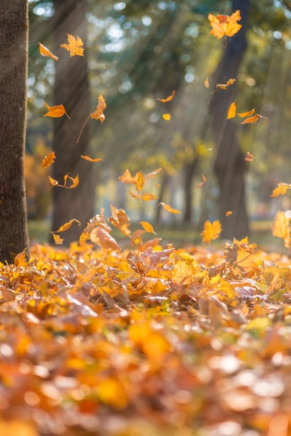 Falling dry yellow maple leaves in the rays of a bright sun Premium Photo