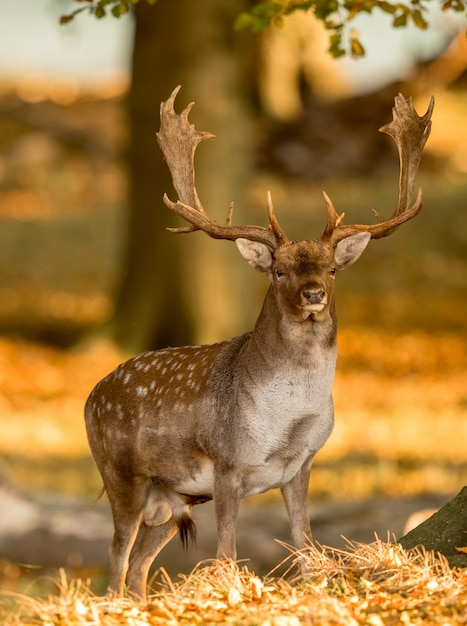Fallow deer, dama dama, male with antlers in beautiful golden light in autumn forest in dyrehave, de