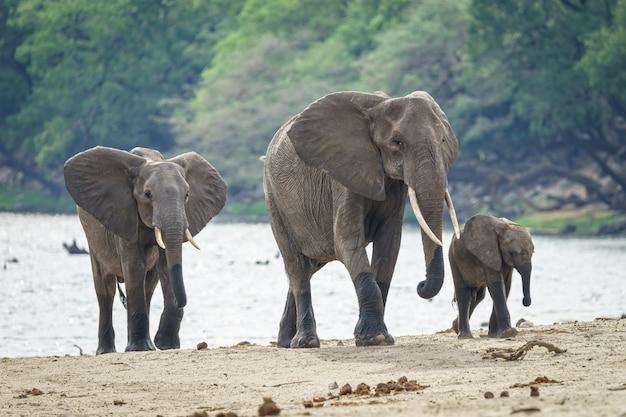 Famiglia di elefanti africani che cammina vicino al fiume con una foresta in background Foto Gratuite