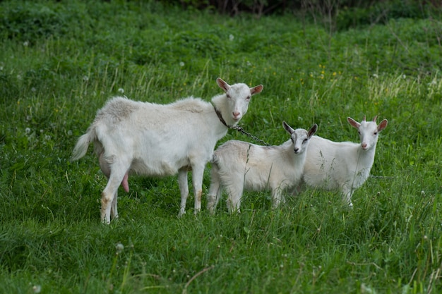 Family  goats  against green grass. pasture of a livestock. Premium Photo