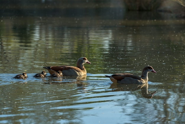 A family of nile geese swimming in a lake Premium Photo