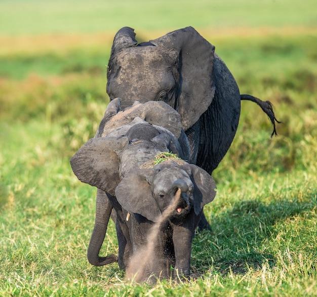 サバンナの象の家族は写真家に直接行きます。 Premium写真