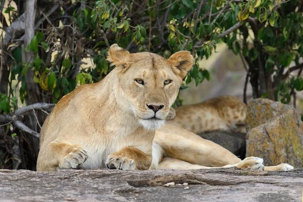 Семья львов в саванне Бесплатные Фотографии