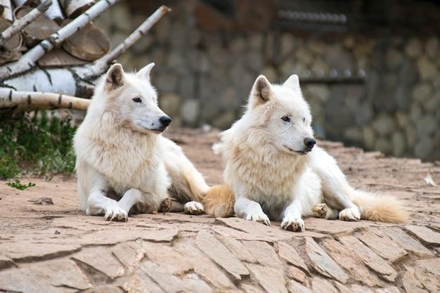 白いアルビノオオカミの家族が動物園に横たわっています Premium写真