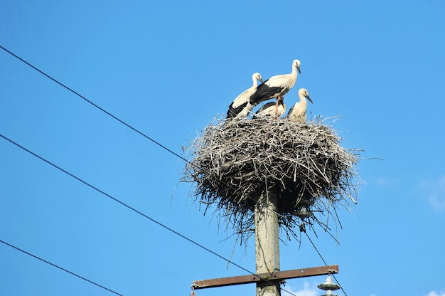 Family of storks sitting in a nest Premium Photo