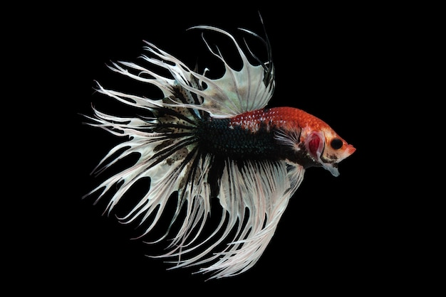 Fancy crowntail betta fish Free Photo