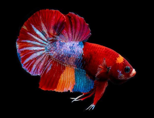 Необычные кои галактики бетта рыбы. Premium Фотографии