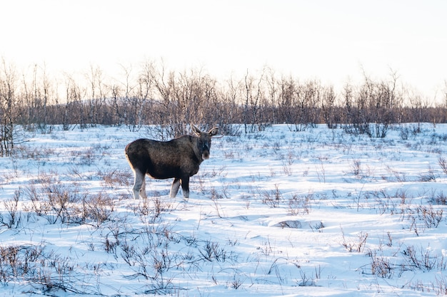 스웨덴 북부의 눈 덮인 시골을 산책하는 농장 동물 무료 사진