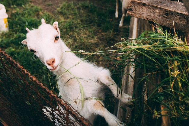 Farm concept with cute goat Free Photo