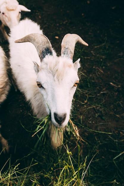 Farm concept with white goat Free Photo
