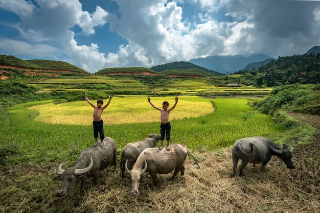 Farmer boy standing and playing on the back of a buffalo while they are raising buffalo in the rice fields at mu cang chai,yenbai,vietnam Premium Photo