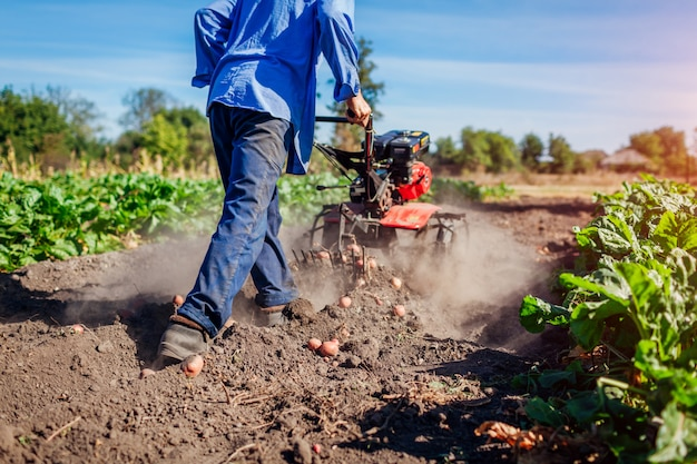 Farmer driving small tractor for soil cultivation and potato digging. autumn harvest potato picking Premium Photo