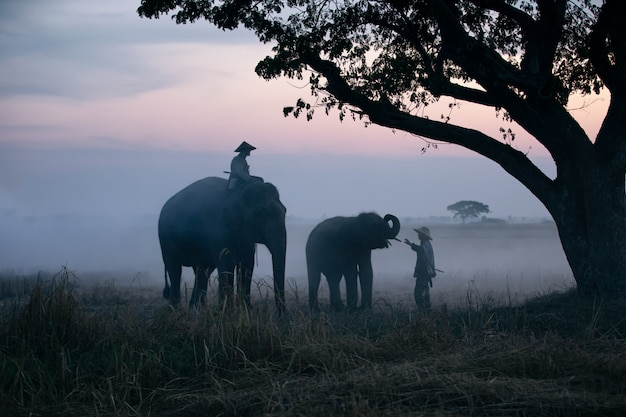 Farmer and elephants at rice field doing harvest Premium Photo