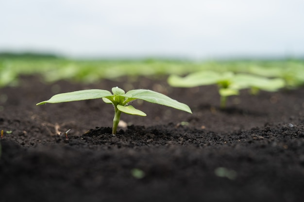 Farmer field with small sprouts of sunflower Premium Photo