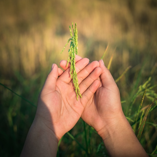 Farmer hand gently holding rice with sunlight in paddy field, agriculture Premium Photo