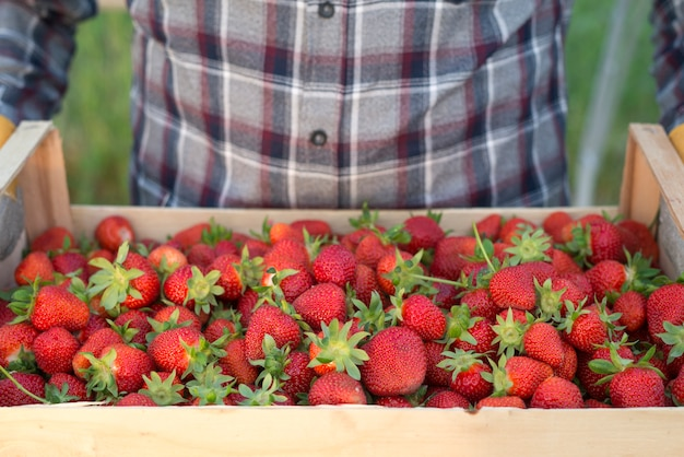 新鮮な有機イチゴでいっぱいの木枠を持っている農夫 無料写真