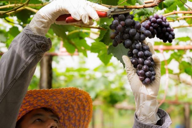 彼のブドウ畑の農家は彼の製品をチェックして保護しています Premium写真