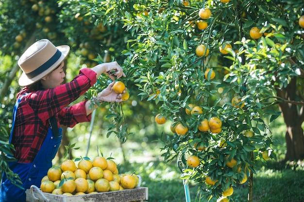 Farmer orange lady, The gardeners are collecting oranges, Orange ...