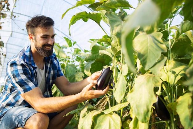Coltivatore che seleziona le verdure mature fresche della melanzana e che mette nella cassa di legno Foto Gratuite
