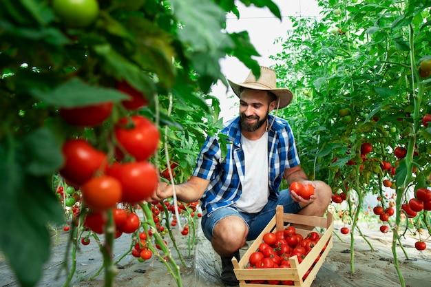 完熟トマト野菜を摘み、木枠に入れる農家 無料写真