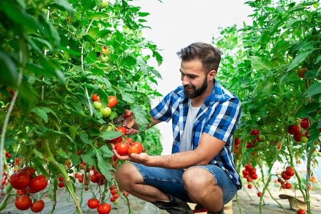 Coltivatore che seleziona le verdure fresche mature del pomodoro per la vendita del mercato Foto Gratuite