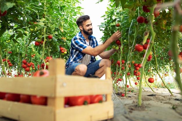 完熟トマトの新鮮な野菜を手に取り、木枠に入れる農家 無料写真