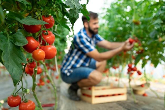 Coltivatore che raccoglie le verdure fresche mature del pomodoro e che mette nella cassa di legno Foto Gratuite