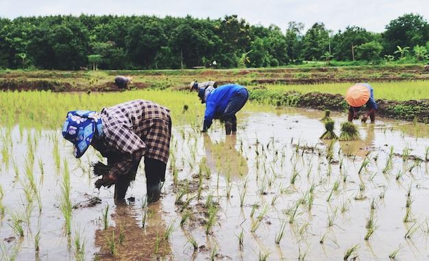 Farmer planting on the organic paddy rice farmland Premium Photo