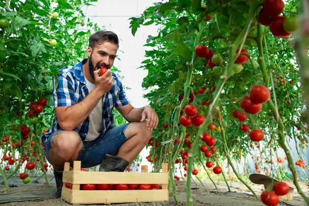 Coltivatore che assaggia la verdura del pomodoro e controlla la qualità del cibo biologico in serra Foto Gratuite