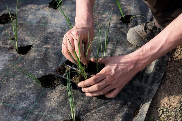 Farmer transplanting young leek seedlings Premium Photo