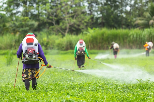Farmer with machine and spraying chemical to young green rice field Premium Photo