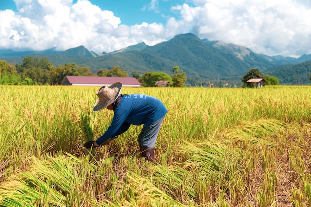Farmers are harvesting rice in the hot sun: nan, thailand, 25 october 2018 Premium Photo