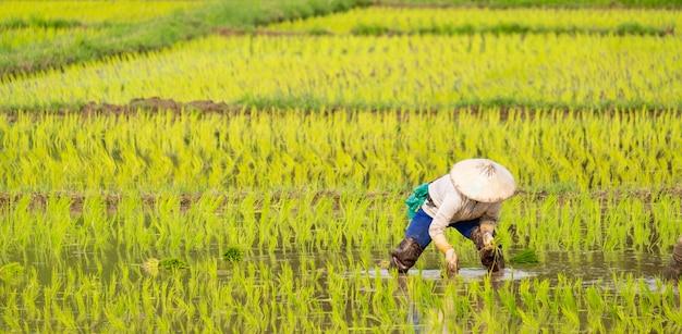 Farmers are planting rice in the farm Premium Photo