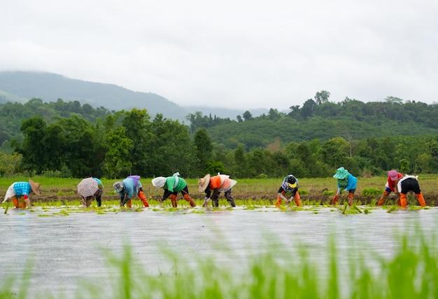 Фермеры сажают рис на ферме. фермеры стараются выращивать рис. сельское хозяйство в азии. Premium Фотографии