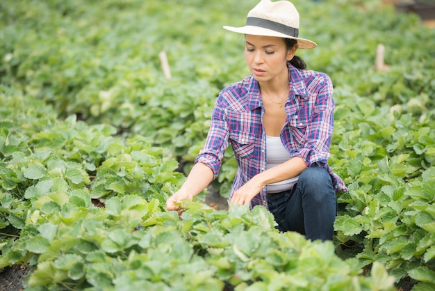 Farmers are working in strawberry farm Free Photo