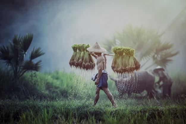 Farmers grow rice in the rainy season. Premium Photo