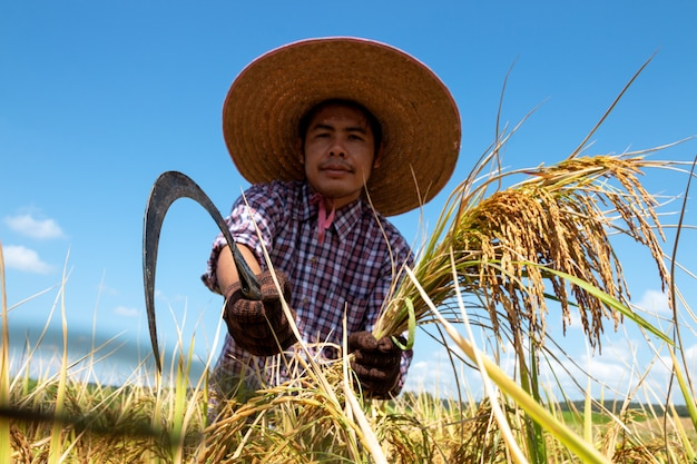Farmers harvesting rice in the fields on bright blue sky Premium Photo